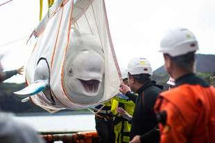 SEA LIFE Trust confirms safe transition of Beluga whales into Iceland sanctuary